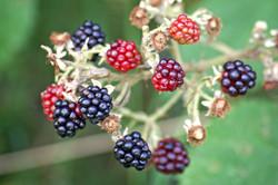 blackberries-1610088_1920