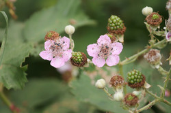 blackberries-3481349_1920