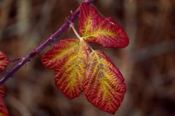 blackberry-leaves-3896496_1920