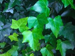 ivy-1409871_1920