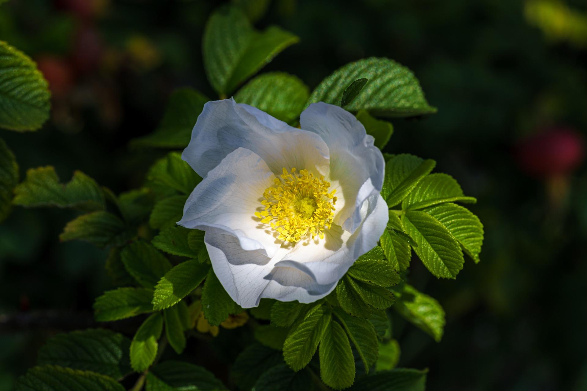 rose-hip-2611524_1920