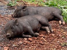 sleeping piglets.JPG