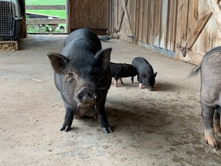 mom and piglets.jpg