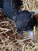 piglets in hay.jpg
