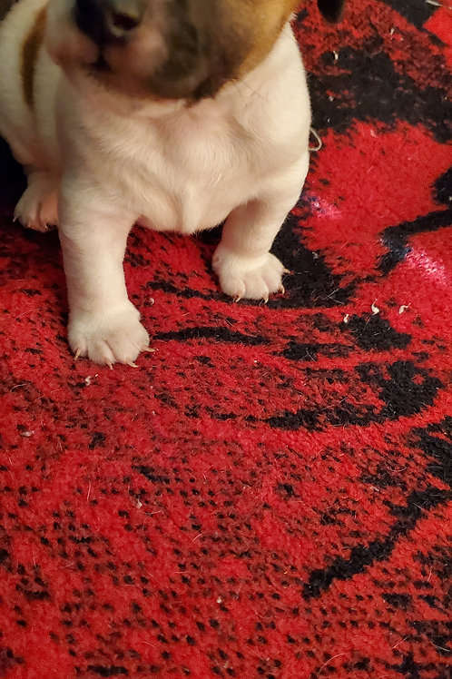 Baxter (Male) born 09/11/2020