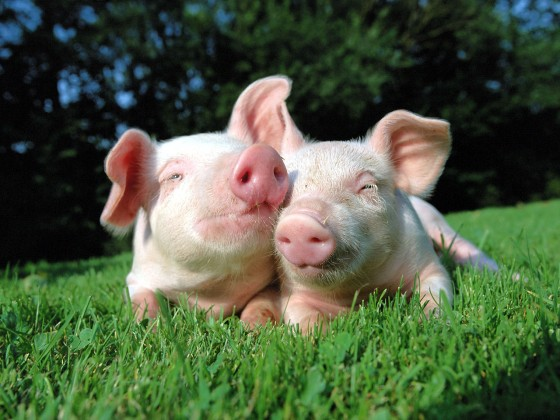 pigs-in-love-560x420