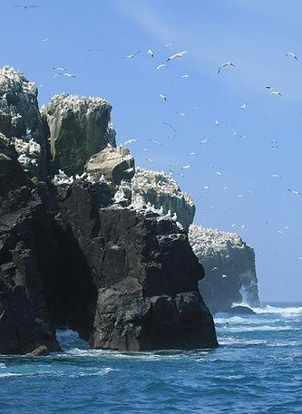 Grassholm Island Gannets RSPB Nature Res