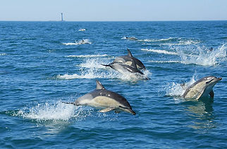 Common Dolphins whale and dolphin watch