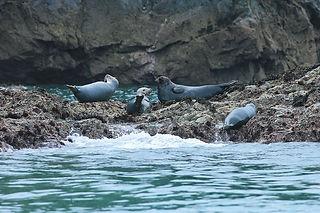 Atlantic Grey Seal coloney pembrokeshire