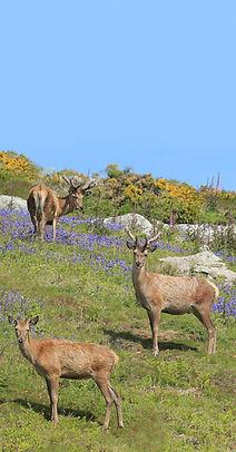 Red deer wildlife on Ramsey Island bird
