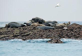 atlantic grey seals pembrokeshire coast