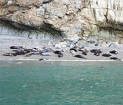 Atlantic Grey Seal colony bachelor bay b
