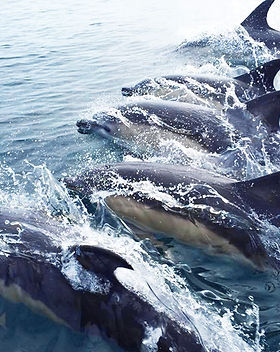 whale and dolphins watching boat trips.j