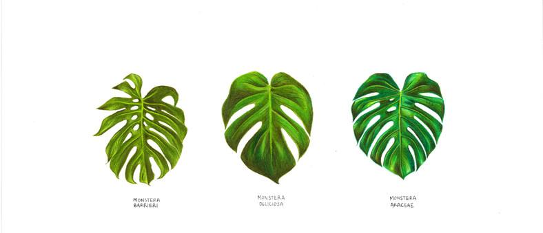 Monstera Leaves Colour Corrected.jpg