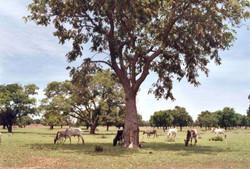 vaches-burkina
