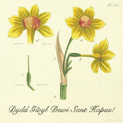 Card - Daffodil Study - Dydd Gŵyl Dewi Sant Hapus! x 6