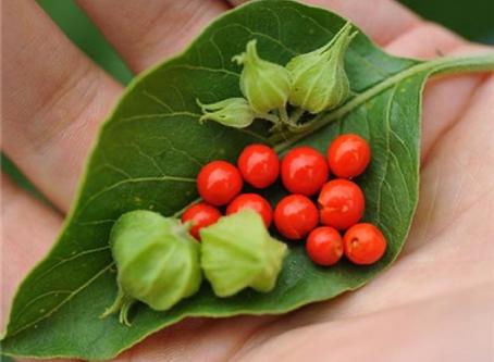 Ashwagandha: Family Medicine From the Garden