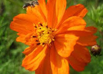 Giant Orange Cosmos