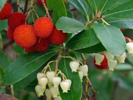 Le saviez-vous ? L'arbousier dit ´l'arbre à fraises' offre  des vertus médicinales intéressantes