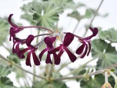 La racine de Pelargonium