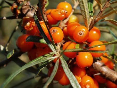 L'argousier fait partie des végétaux les plus nutritifs au monde