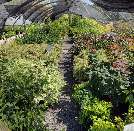 A peek at one of our shrub greenhouses