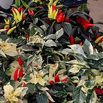 ornamental peppers and millet