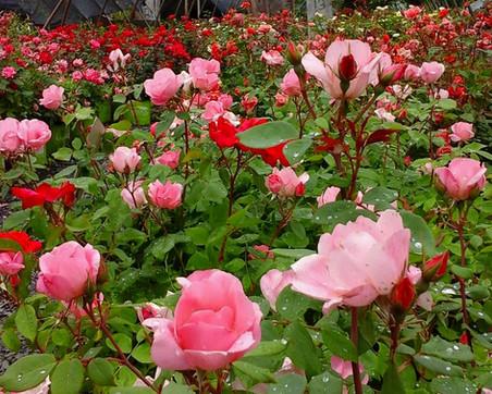 Rainy day rose house