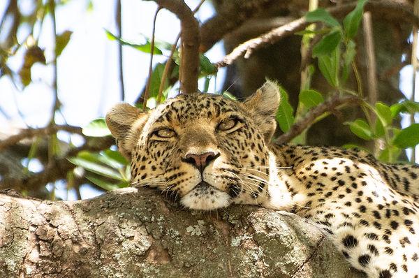 leopard4-X3.jpg