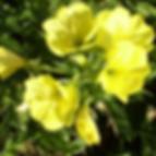 Oenothera biennis.png