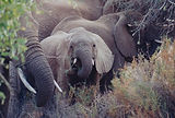 ZAMBIA ELEPHANTS-reduced .jpg