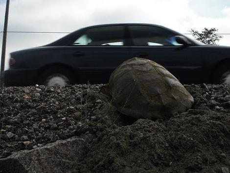 Snapping turtle nesting roadside.JPG