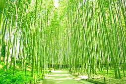 Bamboo Forest Kyoto Wheelchair Accessible Travel Kyoto