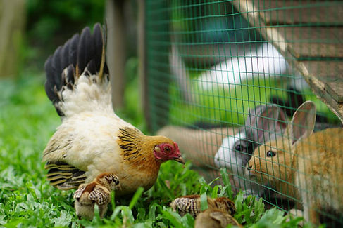 homestead-rabbits.jpg