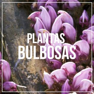 BULBOSAS.png