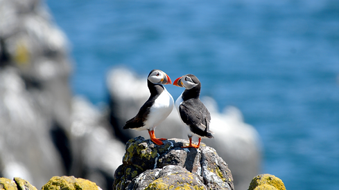 Puffins in bird island   Jolly Good Times Sailing   Sunnmøre, Norway