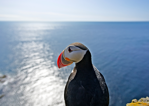 Puffin in Runde | Jolly Good Times Sailing | Sunnmøre, Norway