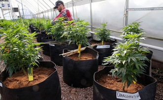 US government says cannabis kills cancer cells