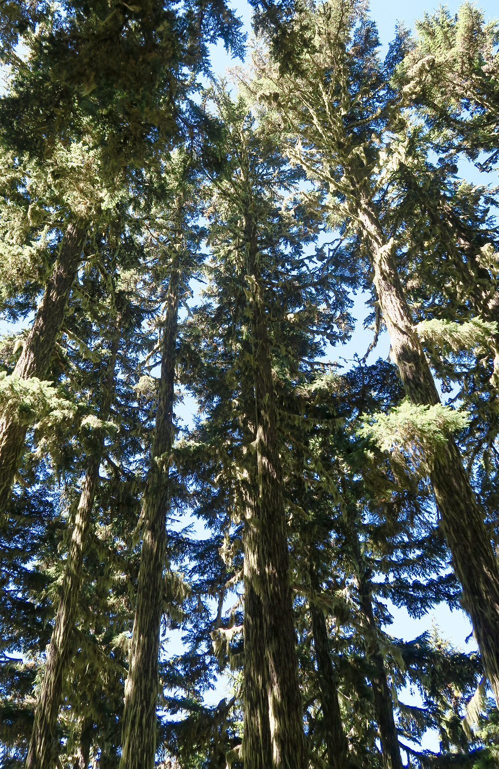 Tall thin pine trees reach upward with trunks covered in light green moss.