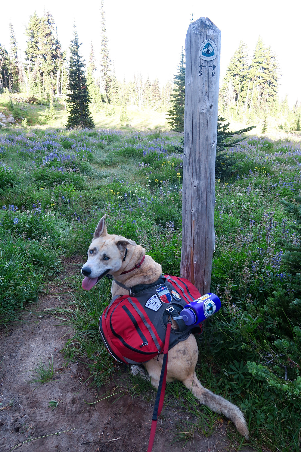 A blond dog wearing a red pack sits in front of a wooden post with the PCT symbol and arrows pointing north and south. They are surrounded by a wildflower meadow, with coniferous trees in the background.