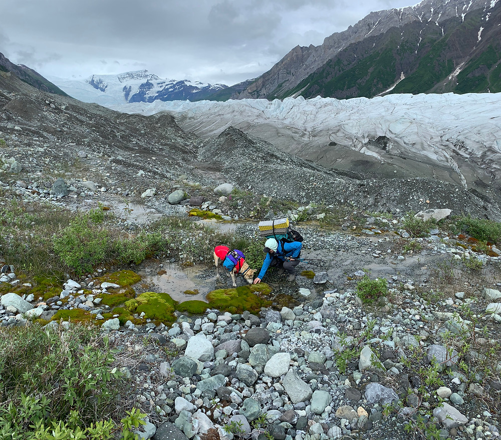 A woman and dog wearing a packs are bending over to touch a green patch of lichen at the edge of a glacier.