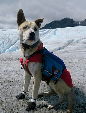 A blond brindle dog wearing a red coat and a blue harness and pack sits on the rough ice of a glacier with black booties on her two front feet. Bright blue glacier ice and a dark blue and green mountain are visible in the background.