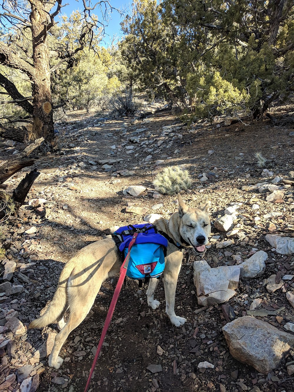 A blond dog wearing a pack looks at the camera and squints, Piñon-juniper forest in the background. Photo by Tenley Lozano.