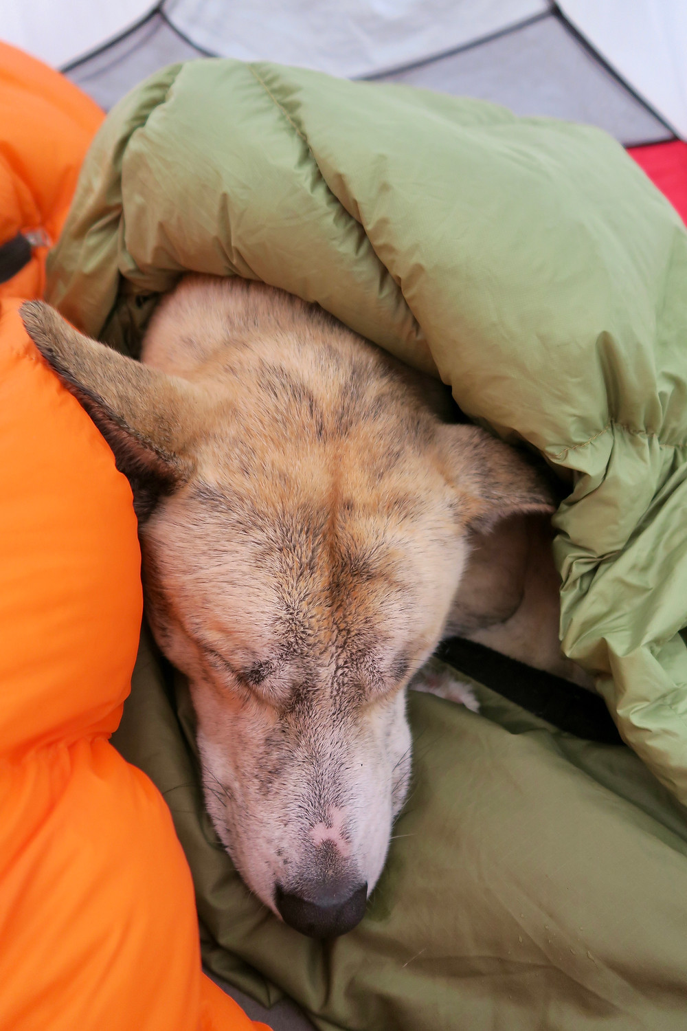 A blond dog is curled up asleep under a green quilt and on top of an orange sleeping bag.