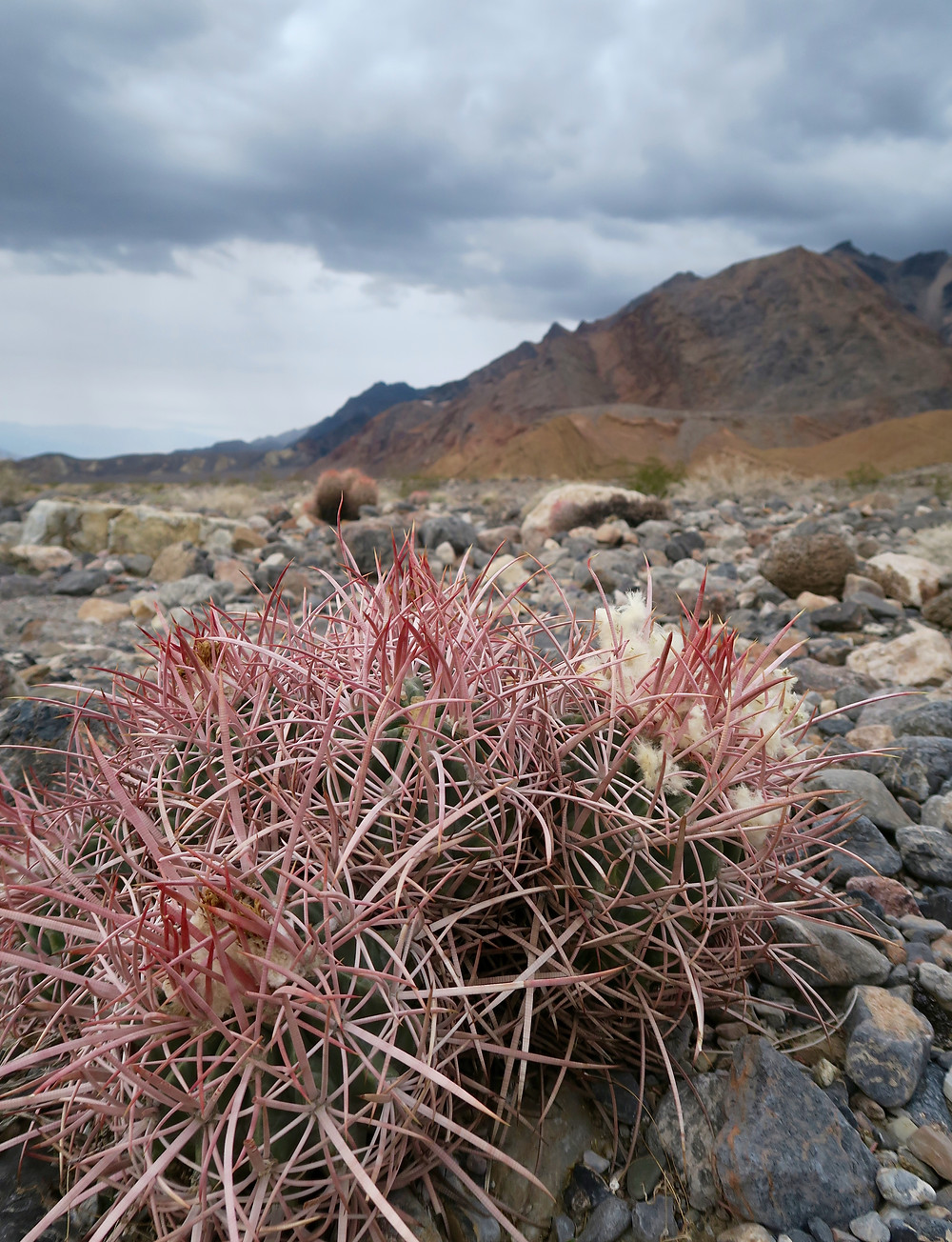A group of small cacti with pink spikes on rocky ground. Photo by Tenley Lozano.