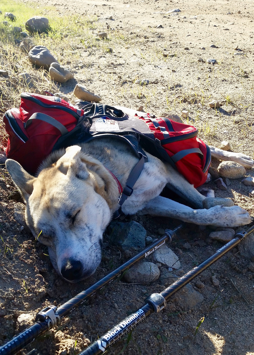 A blond brindle dog is sprawled out asleep by the side of the trail still wearing her pack, and leaning on some rocks and hiking poles.