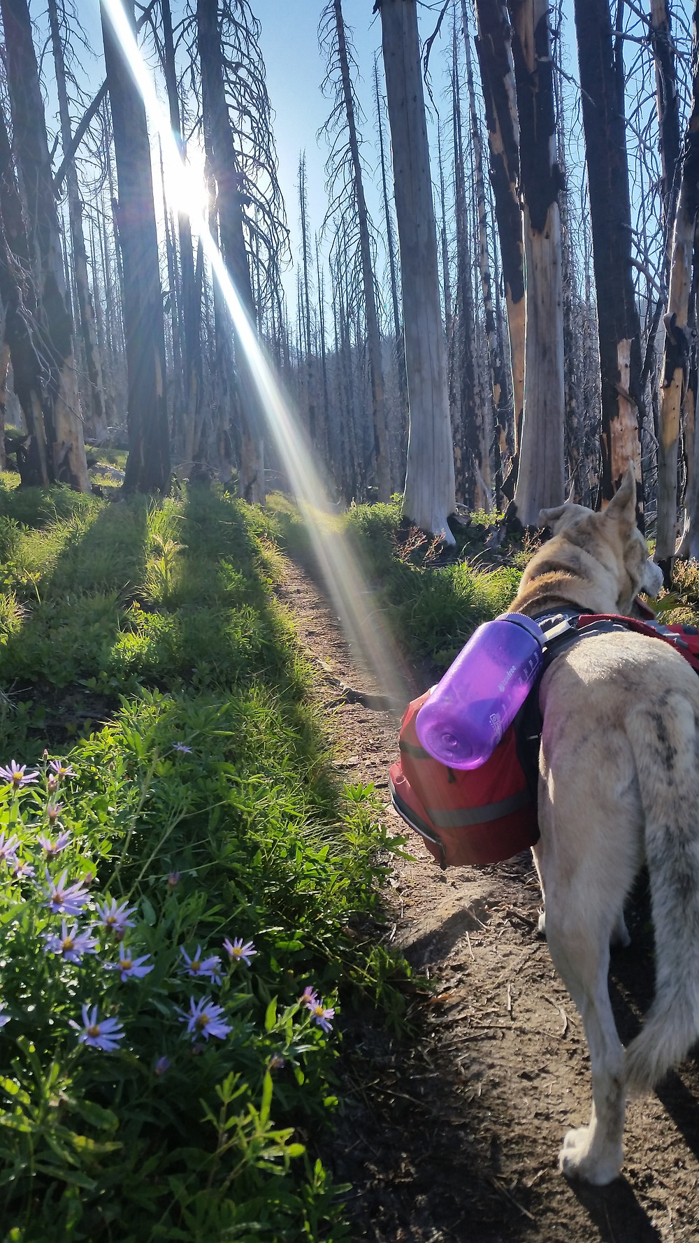 A blond dog stands facing away from the camera on a thin trail by bright green grass and purple flowers. Ahead are rows of burnt tree skeletons.