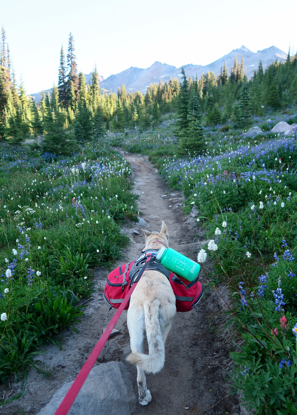 A blond dog wearing a red pack walks down a narrow dirt trail surrounded by white and purple wildflowers.