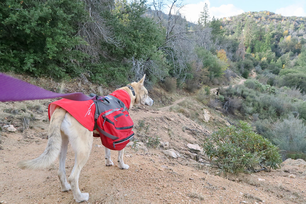 A blond brindle dog wearing a red coat and pack looks out over the dirt trail edged by conifers and scrub brush.