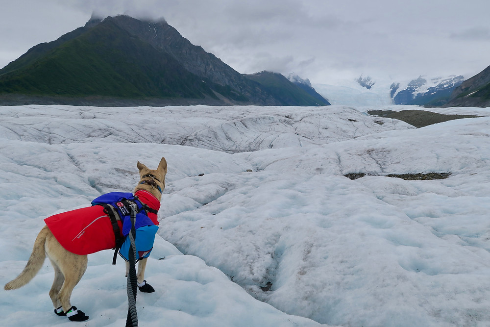 A blond dog in a red coat and blue pack stands on white-blue ice looking off into the distance at a jumble of ice a few thousand feet high.